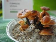 Sab. 23 e dom. 24 settembre 2017 – Mostra del fungo a Muralto